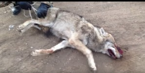 Torturing a Wolf is a Crime