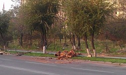 Tree Felling in Yerevan Streets (Photos)
