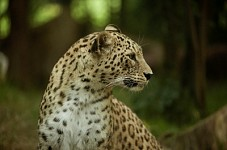Central Asian Leopard Habitats Seized in Russia