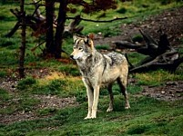 200 Killed Wolf Furs Accepted Within 8 Months