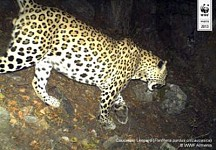 The Caucasian Leopard Having Disappeared from the South Caucasus Returns to Homeland