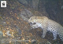 Leopard Population Endangered in Russia