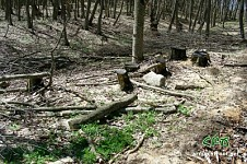 Alarm Signal from Ijevan Forests: Tree Massacre Continuing