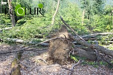 Dozens of Trees Fallen with Wind Detected in Sevqar Forestry Enterprise (Photo)