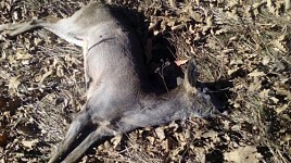 Roedeer Hunted in Dilijan National Park