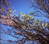 Stress-Related Tree Blossoming in Khosrov Reserve