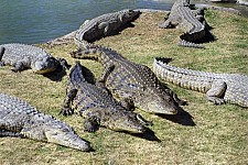 Crocodile Farm Won't Undergo Environmental Expert Assessment