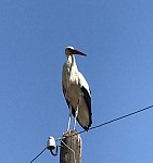 Stork Already Not A Migratory Bird
