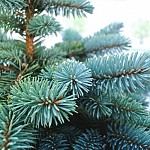 Local Tree Species Not Detected at Xmas Sale Points