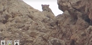 First-Time Video of Leopard Taken by People in Armenia