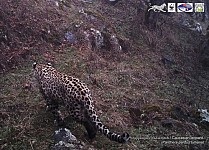 WWF Armenia Shot Leopard in Areviq National Park