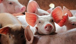 Criminal Case Instigated over Operations of Marmarashen Pig Farm