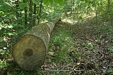 63 llegally Felled Down Trees in Yeghegnut Forestry Enterprise Area