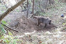 Bear Trapped in Vayots Dzor Transferred to Safe Area