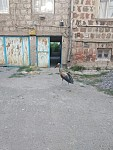 Alarm Signal: Storks with Polluted Feathers, Deprived of Any  Opportunity to Fly Targeted by Dogs in Hovtashen