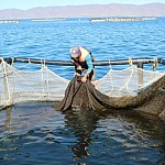 625,109 Young Fish Let out into Lake Sevan in 2020