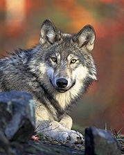 """Save the Wolves' Group to Demand from Ministry of Nature Protection to Stop Killing Wolves"