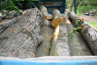 Police Efforts To Combat Illegal Tree Felling Crowned with Success: 83-year-old Culprit Qnarik A. Detected