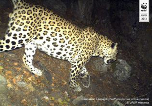 According to WWF Armenia Specialists Number of Leopards May Increase in Armenia