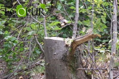 30 Trees Illegally Cut Down in Shikahogh Reserve: Criminal Case Initiated
