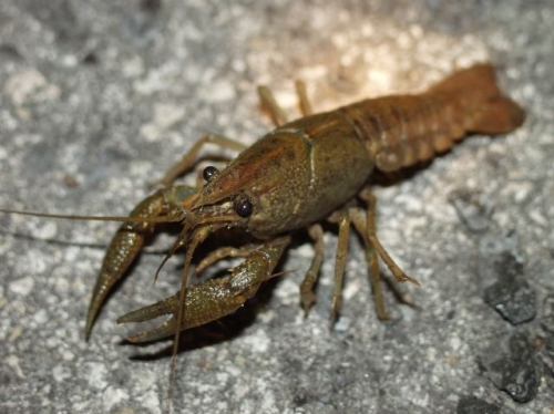 Crawfish Reserves in Lake Sevan Reduced Double