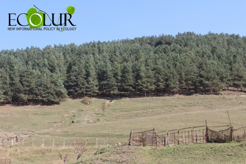 Criminal Case Initiated in Spitak Forestry Enterprise for Elimination of 530 Pine Trees