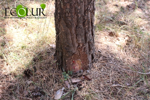 Armenian Government Increasing Legal Tree Felling Volumes