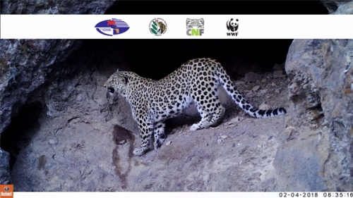 Photo Traps in Khosrov Reserve  Fixed Caucasus Leopard For First Time