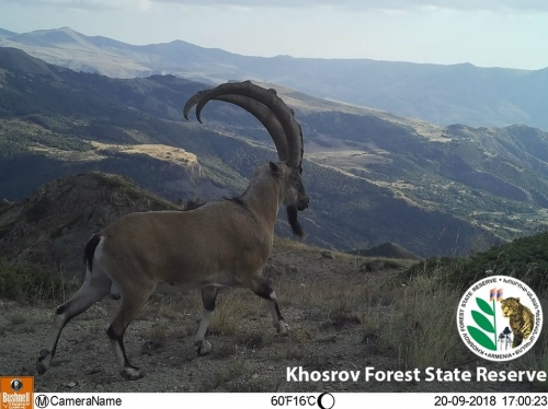 Monitoring of Bezoar Goats and Juniper Forest Implemented in Khosrov Forest State Reserve
