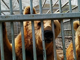 Bears To Remain in Cages As They Have No Receiving Party