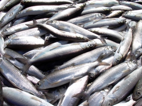Registration of Fish Reserves Not To Be Carried in Lake Sevan