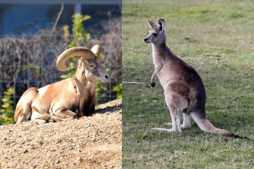 Mouflons and Kangaroos Died Because of Injuries Incompatible with Life