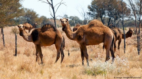 Australian Authorities Decided to Kill 10,000 Camels Because Lack of Water