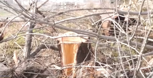 Blossomed Apricot Trees Felled Down in Dalma Gardens: Police Preparing Materials