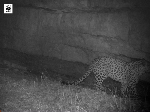 Leopard Again in Tavush after 50 Years