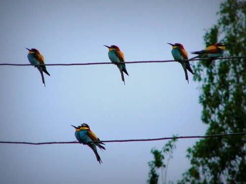 Red-Listed  Bee Eaters targeted by Hunters
